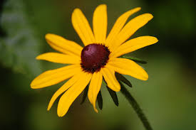 Thirteen-petalled black eyed susan